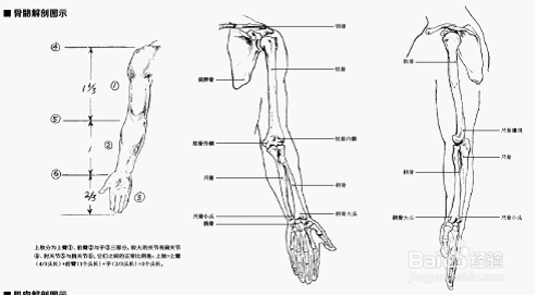 素描半身像之上肢解剖