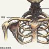 素描半身像之颈部解剖